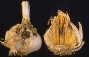 Грибковые болезни чеснока