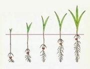 Глубина посева семян